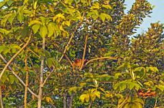 tamandua in a rain forest tree - stock photo
