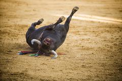 bull falls into the arena dead during a bullfight, spain - stock photo