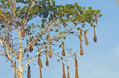 Oropendola nests in a cannonball tree Stock Photos