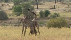GIRAFFE NECKING - SLOW MOTION Stock Footage