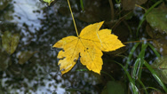Stock Video Footage of Acer yellow autumn leaves in still water