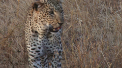 Extreme close up of a leopard Stock Footage