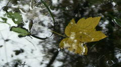 Acer yellow leaf in a still water Stock Footage