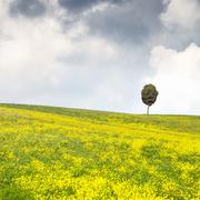 Yellow flowers green field, lonely cypress tree and cloudy sky Stock Photos
