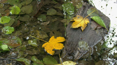 Yellow acer leaves on a log in still water - stock footage