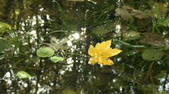 Yellow acer leaf in a still water with sun reflection - stock footage