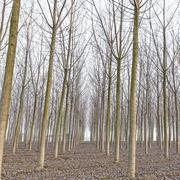 poplar tree forest in winter. emilia, italy - stock photo