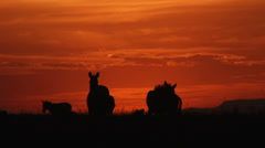 Sun setting behind a group of zebras Stock Footage