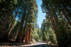 sequoia tree street - stock photo