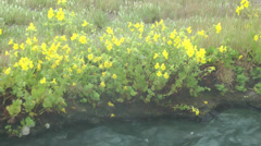 Yellow flowers and hot spring creek, 2 Stock Footage