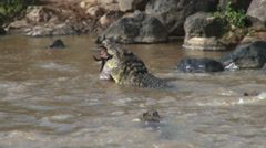 Crocodiles fight for a dead wildebeest Stock Footage