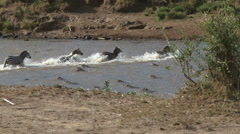 Zebras cross the river as crocodiles watches Stock Footage