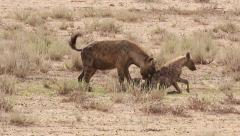 Hyena 2 Stock Footage