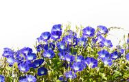 Stock Photo of blue morning glory flower on white