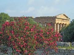 evocative and ancient greek temple and a well preserved oleander plant - stock photo