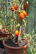 red tomatoes grown in a pot on the terrace of a house - stock photo