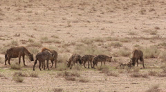 Hyena 4 Stock Footage