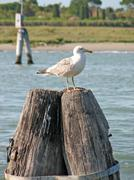 Gull over stakes to anchor ships Stock Photos
