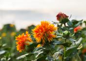 Stock Photo of safflower