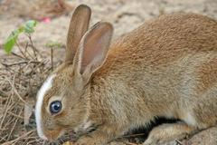 big blue eye of rabbit with long ears while eating - stock photo