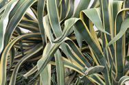 Stock Photo of succulent green leaves of agave