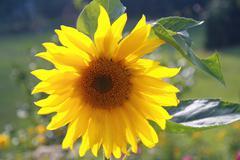 Beautiful bright yellow sunflower sun kissed Stock Photos