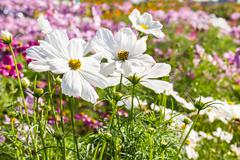 White cosmos flower Stock Photos