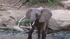 An angry elephant passes infront of camera Stock Footage