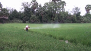 Stock Video Footage of Worker sprays insecticide on a rice field - Worker walks down the field spraying