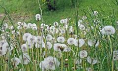 Meadow full of showerheads and flowers called dandelion Stock Photos