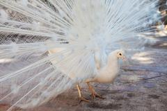 a peacock with white plumage - stock photo