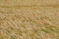 Red poppies in contrast in the field of yellow wheat spikes Stock Photos