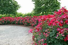 Stock Photo of cluster of red roses in a garden