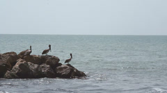 Pelicans fishing Stock Footage