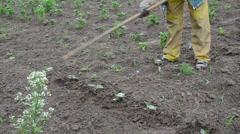 Hoe loosen soil around cucumber seedlings Stock Footage
