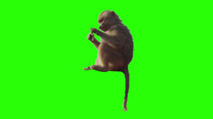 Monkey eating fruit in front of green screen. - stock footage