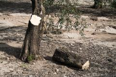 Trunk of olive tree cut in the ground, jaén, andalusia, spain Stock Photos