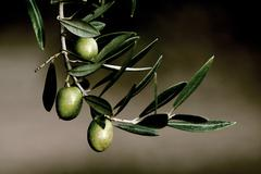 Olive in a branch picual, jaen, andalusia, spain Stock Photos