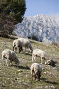 flock of sheep in sierra sur de jaén mountains, andalusia, spain - stock photo