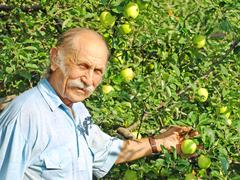 Elderly happy man holds a green apple on a apple-tree. Stock Photos