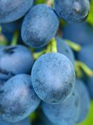 ripe blue grape. - stock photo
