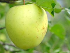 ripe apple on a apple-tree. - stock photo
