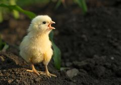 angry little chicken shouting - stock photo