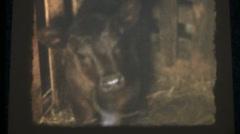 Vintage home movies, calf on teet Stock Footage