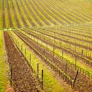 Chianti region, vineyard pattern or background. tuscany, italy Stock Photos