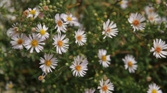 Bee and Fly among Daisies Stock Footage