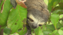 Three Toed Sloth Stock Footage