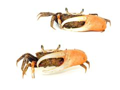 Fiddler crab with big claw isolated Stock Photos