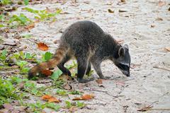 raccoon on the beach in costa rica - stock photo