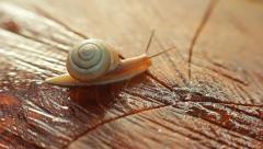 Snail Crossing Wooden Cut HD Stock Footage